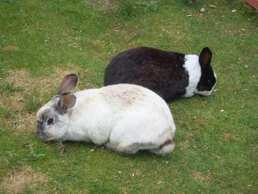 grasende kaninchen